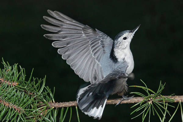 Photograph - Finely-feathered Nuthatch by Leda Robertson