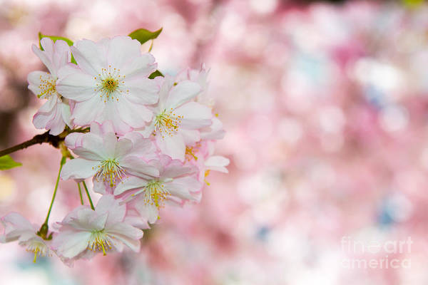 Photograph - Finest Spring Time by Hannes Cmarits