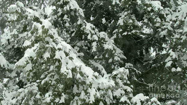Wall Art - Photograph - Fir Tree Branch Covered With Snow  by Jeelan Clark
