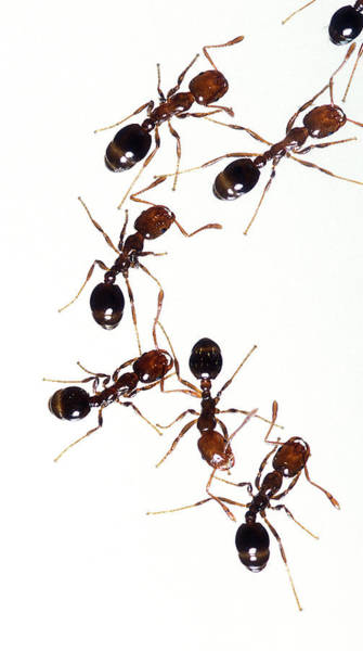 Fire Department Photograph - Fire Ants by Stephen Ausmus/us Department Of Agriculture/ Science Photo Library