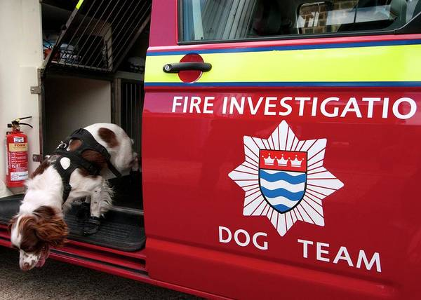 Dog Training Photograph - Fire Investigation Dog by Louise Murray/science Photo Library