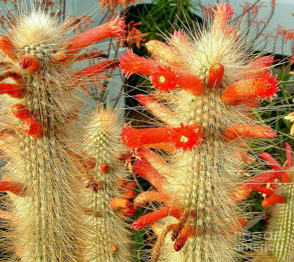 Photograph - Firecracker Cactus by Marilyn Smith