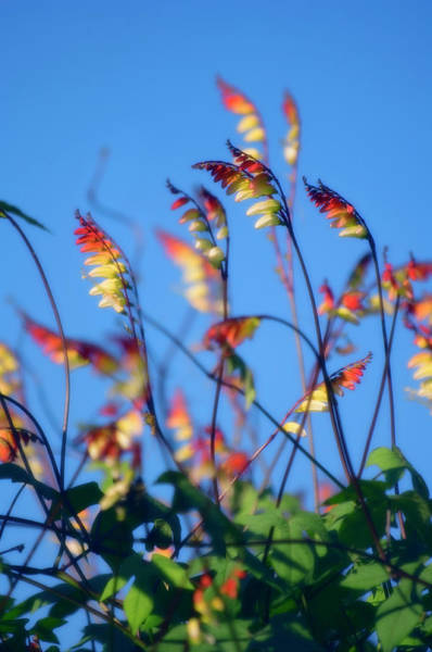 Liana Photograph - Firecracker Vine (mina Lobata) by Maria Mosolova/science Photo Library
