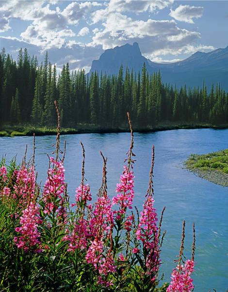 Photograph - 1m3331-fireweed Bow River And Castle Mountain by Ed  Cooper Photography