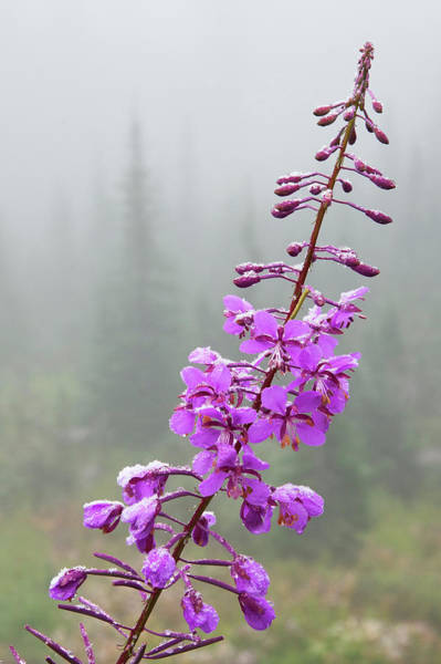 Fireweed Photograph - Fireweed, Frosty Covering by Ken Archer