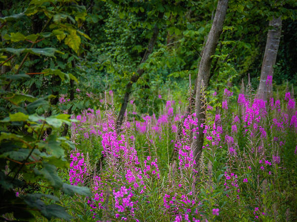 Photograph - Fireweed In The Irish Countryside by James Truett