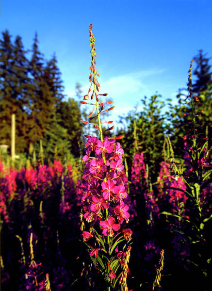 Fireweed Photograph - Fireweed Wildflowers, Alaska, Usa by Panoramic Images