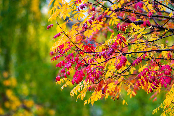 Live Stock Photograph - Fireworks Of Autumn - Featured 3 by Alexander Senin