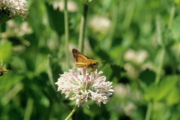 Skipper Photograph - Firey Skipper Butterfly by Sally Mccrae Kuyper/science Photo Library