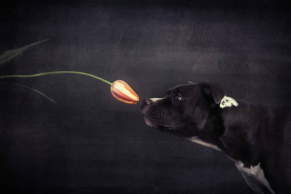 Tulip Flower Photograph - First Approach - Hildegard And The Tulip by Heike Willers