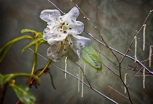 Photograph - First Blush by Belinda Greb