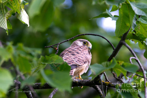Photograph - First Flight by Torbjorn Swenelius