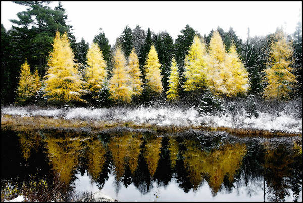 Photograph - First Snow On A Larch Bog by Wayne King