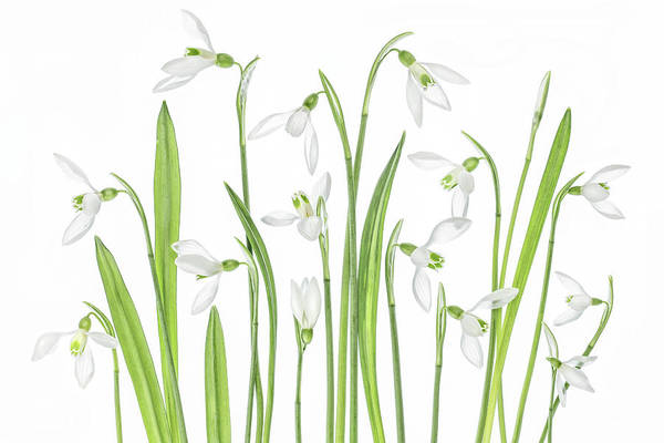 Wall Art - Photograph - First Snowdrops by Mandy Disher