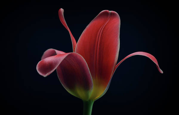Red Flower Photograph - First Tulip by Lotte Gr?nkj?r