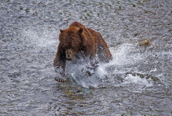 Photograph - Fish Creek Grizzly by Jean Clark
