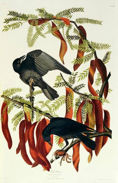 Aquatint Photograph - Fish Crow by Natural History Museum, London/science Photo Library