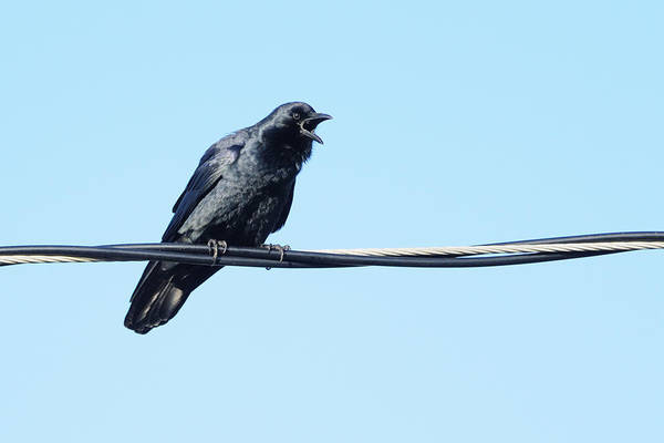 Photograph - Fish Crow On A Wire by Bradford Martin
