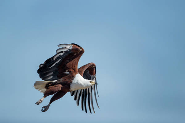 Delta Wing Photograph - Fish Eagle In Flight, Chobe National by WorldFoto