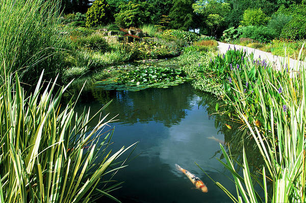 Fish Pond Photograph - Fish Pond by Leslie J Borg/science Photo Library