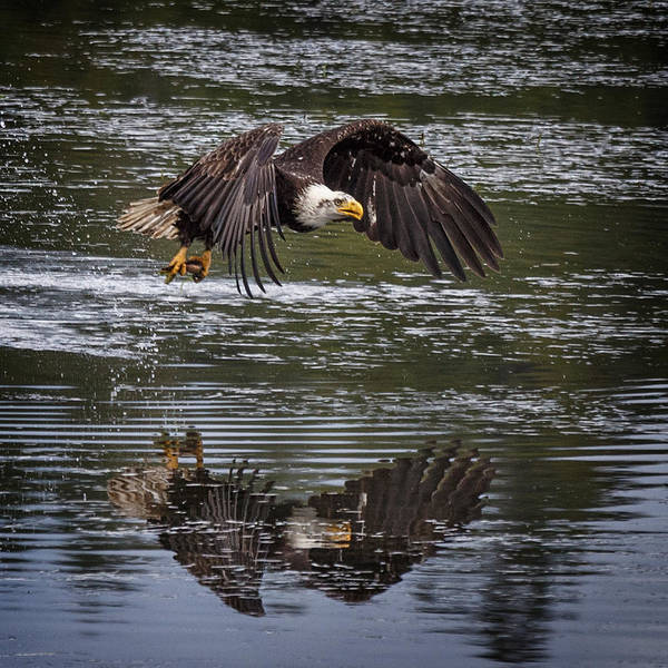 Photograph - Fishing Bald Eagle by Wes and Dotty Weber