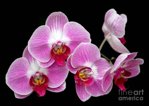 Photograph - Five Beautiful Pink Orchids by Sabrina L Ryan