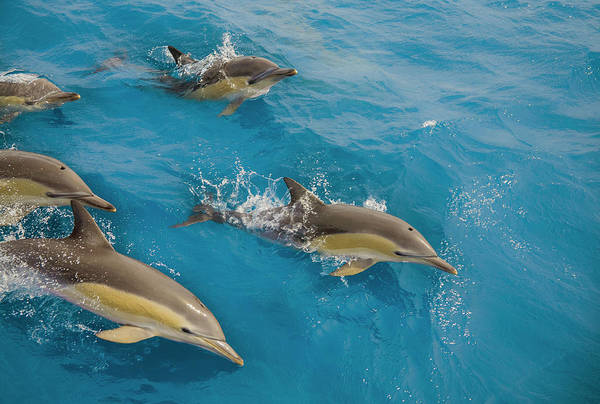 Coordination Wall Art - Photograph - Five Dolphins Surfacing At Speed by Kim Westerskov