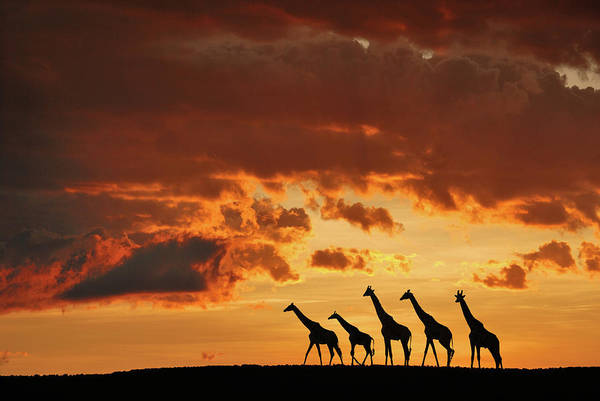 Herd Photograph - Five Giraffes by Muriel Vekemans