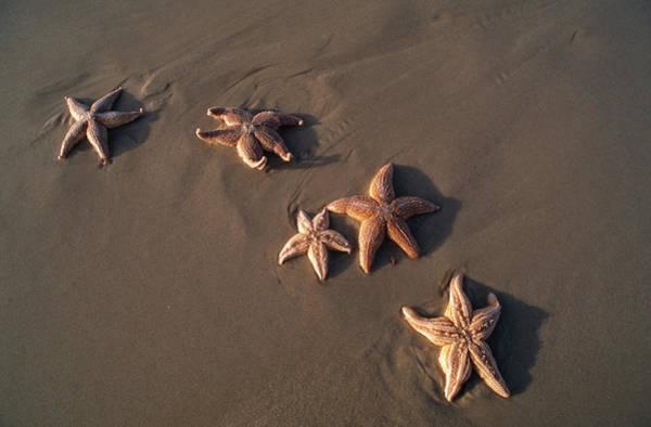 Wall Art - Photograph - Five Starfish Washed Ashore by Norbert Rosing