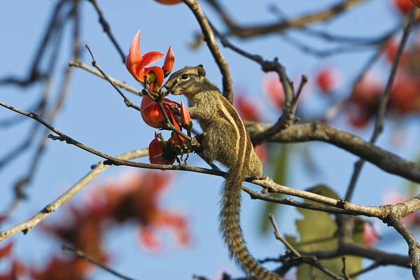Northern India Photograph - Five-striped Palm Squirrel India by Konrad Wothe