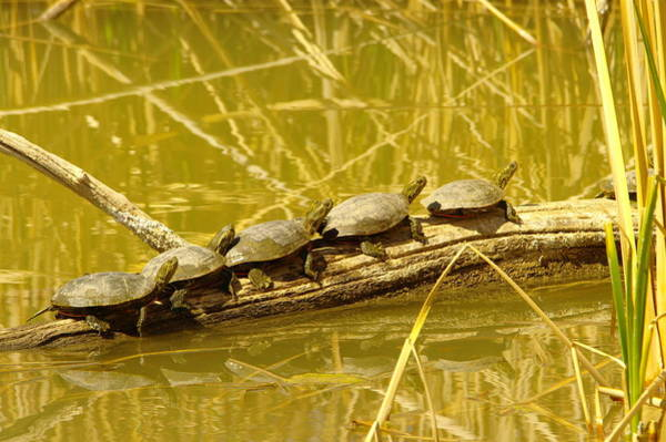 Living Things Photograph - Five Turtles On A Log by Jeff Swan
