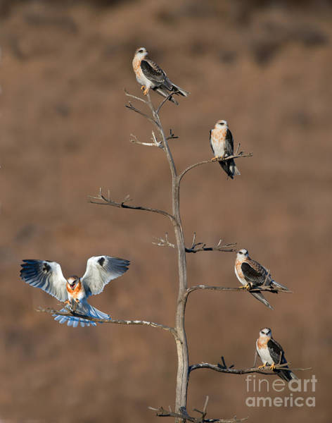 White-tailed Kite Photograph - Five White-tailed Kite Siblings by Anthony Mercieca