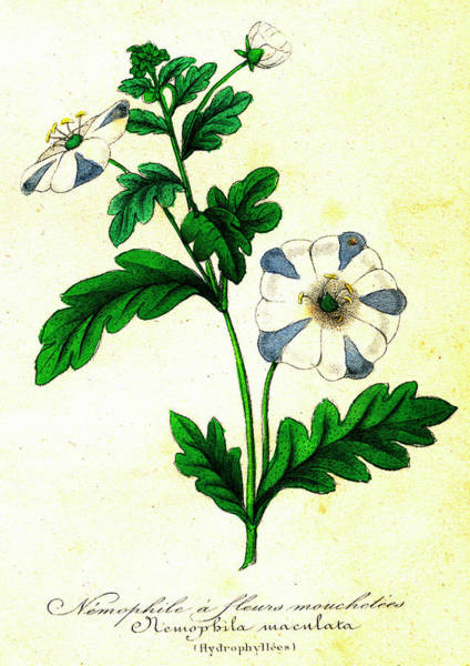 1855 Photograph - Fivespot (nemophila Maculata) by Collection Abecasis/science Photo Library