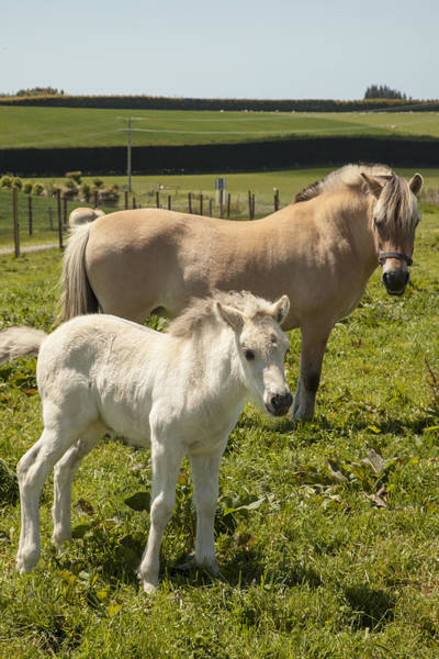 Mare And Foal Photograph - Fjord Horse Mare And Foal  New Zealand by Colin Monteath