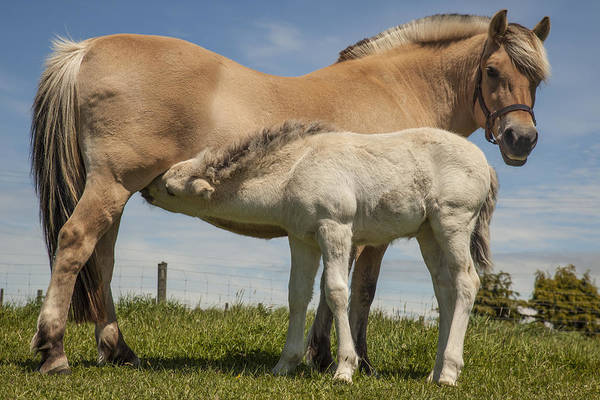 Mare And Foal Photograph - Fjord Horse Nursing Foal New Zealand by Colin Monteath