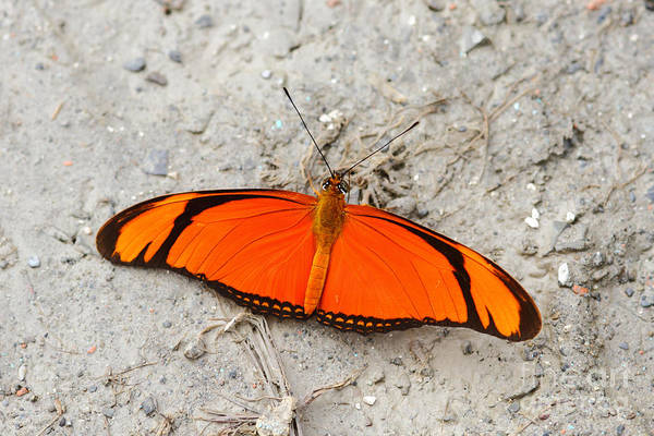 Photograph - Flambeau Butterfly by James Brunker