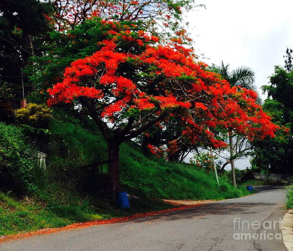 Photograph - Flamboyan On A Country Road by The Art of Alice Terrill