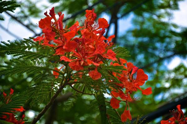 Photograph - Flamboyan Or Royal Poinciana Tree Flower by Ricardo J Ruiz de Porras