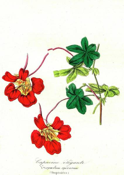 Nasturtium Photograph - Flame Flower Flowers by Collection Abecasis/science Photo Library