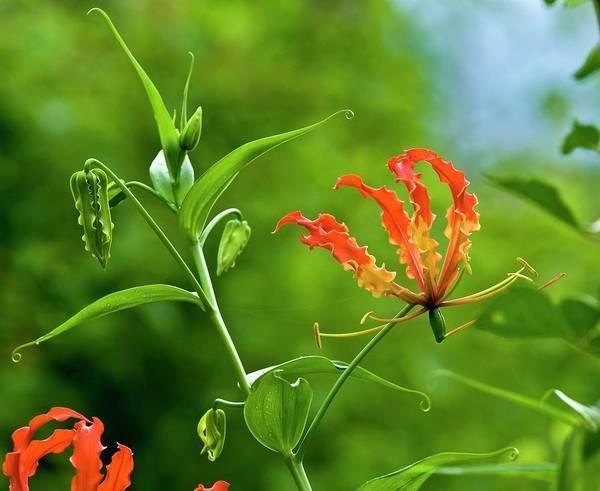 Anther Wall Art - Photograph - Flame Lily (gloriosa Superba) by K Jayaram