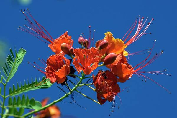 Wall Art - Photograph - Flame Of The Forest Tree (delonix Regia) by Dr. John Brackenbury/science Photo Library