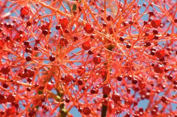 Wall Art - Photograph - Flame Tree (brachychiton Acerifolium) by Dr. John Brackenbury/science Photo Library