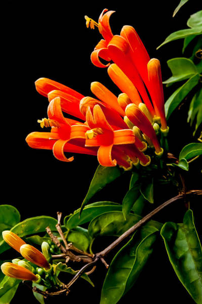 Pyrostegia Venusta Wall Art - Photograph - Flame Vine Flowers by Craig Lapsley