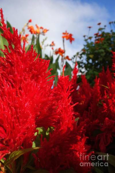 Photograph - Flaming Feathered Flower Power by Jacqueline Athmann