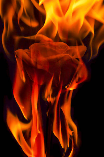 Comtemporary Photograph - Flaming Rose by Jon Glaser