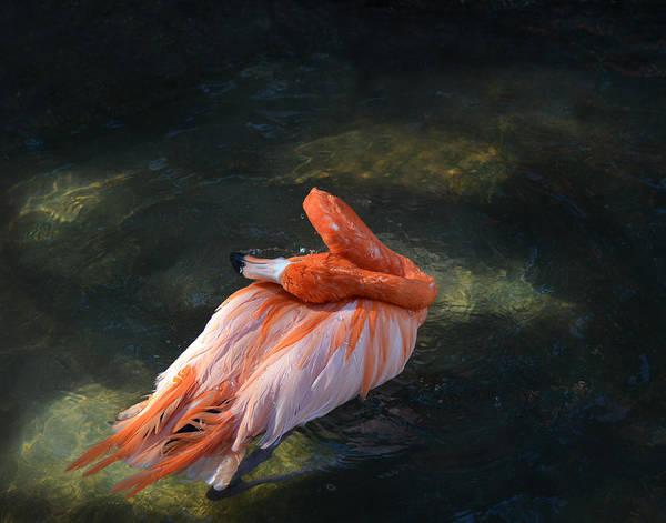 Photograph - Flamingo Bathing II by Maggy Marsh