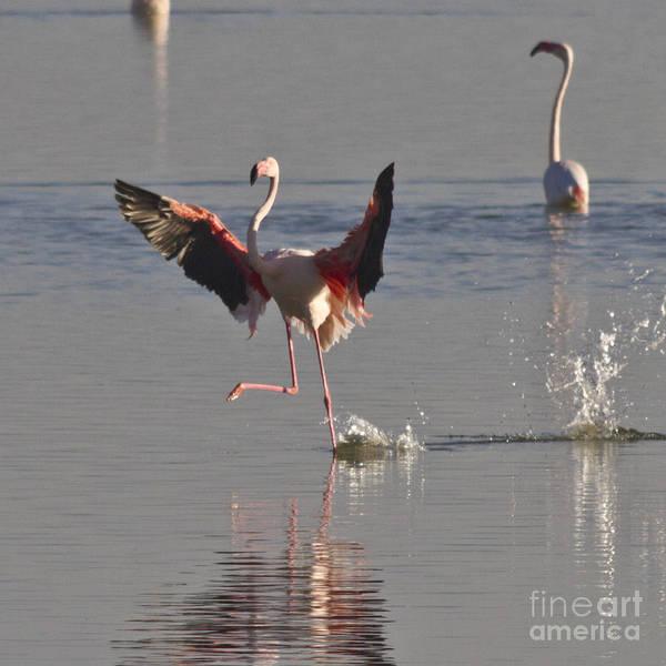Photograph - Flamingo Dance by Heiko Koehrer-Wagner
