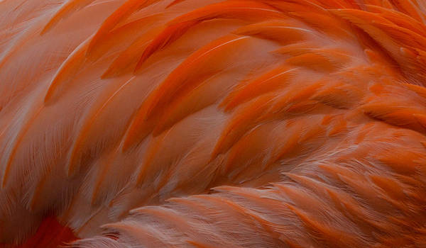 Photograph - Flamingo Feathers by Michael Hubley