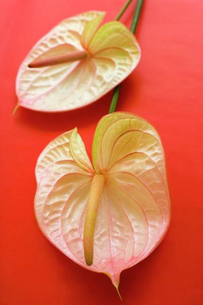 Palette Photograph - Flamingo Flowers (anthurium Sp.) by Ian Hooton/science Photo Library