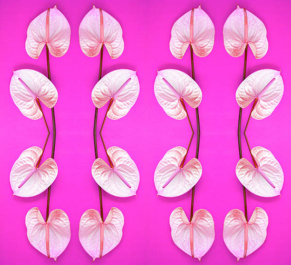 Anthurium Photograph - Flamingo Flowers by Ian Hooton/science Photo Library